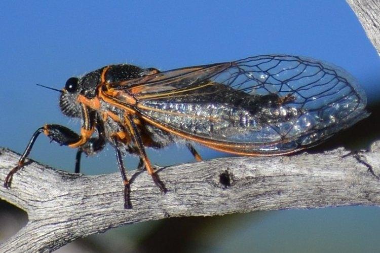 Putnam's Cicada Platypedia putnami columbia county northwest Oregon