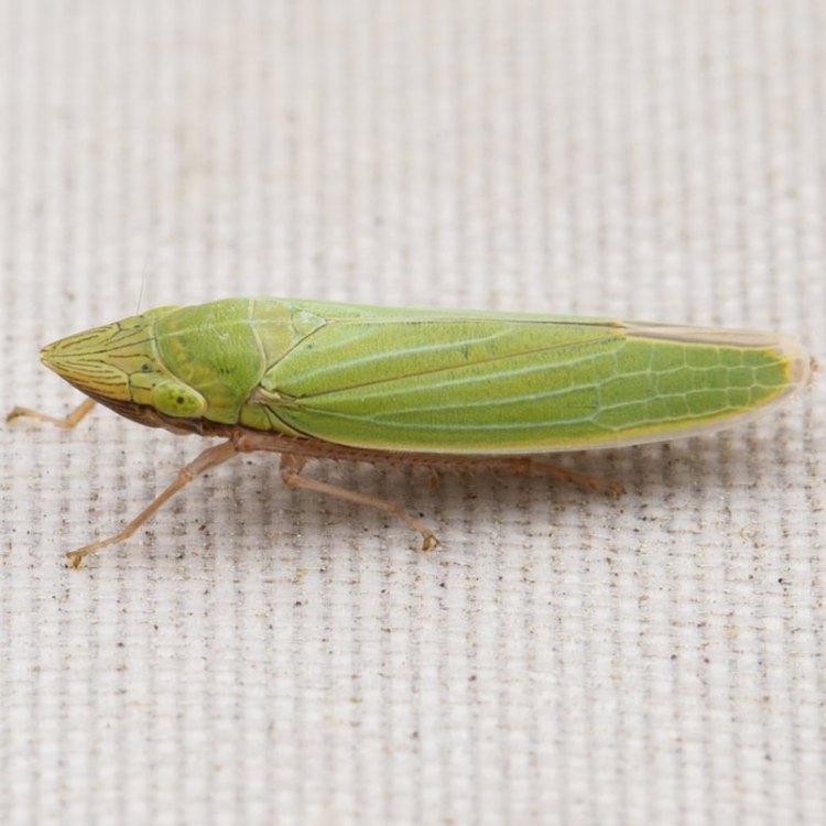 Robinson's Sharp-headed Leafhopper Draeculacephala robinsoni columbia county northwest oregon