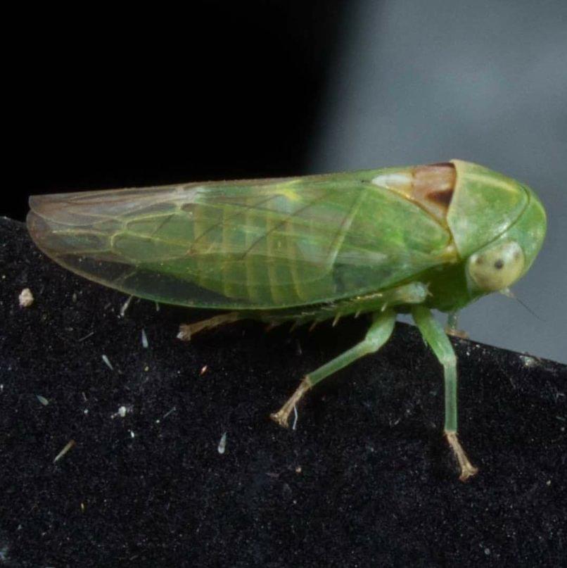 Veined Round-headed Leafhopper Idiocerus nervatus columbia county northwest oregon