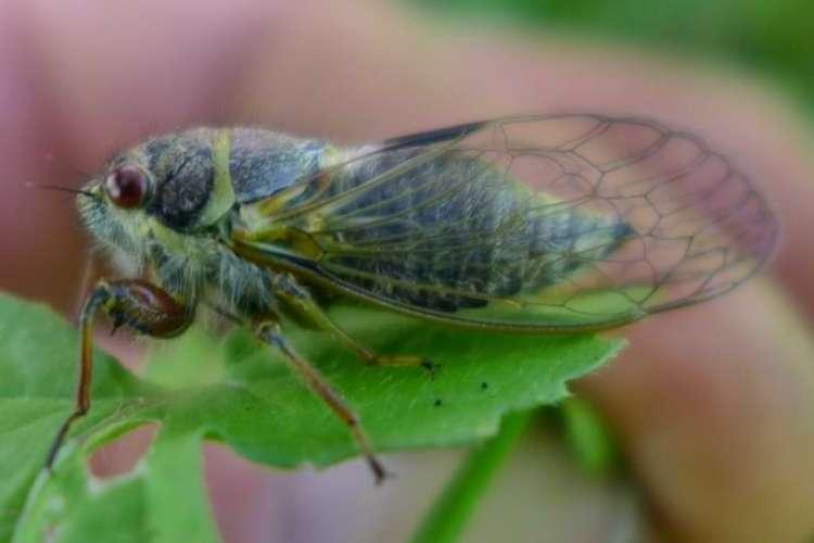 Salmonfly Cicada Platypedia areolata columbia county northwest oregon