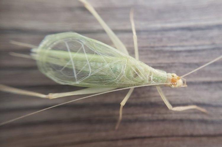 Snowy Tree Cricket Oecanthus fultoni columbia county northwest oregon