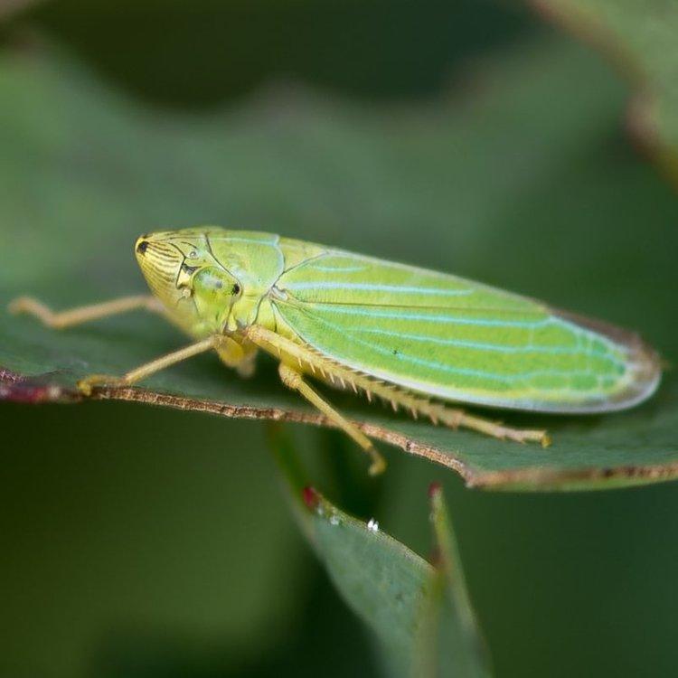Thickhorn Sharp-headed Leafhopper Draeculacephala crassicornis columbia county northwest oregon