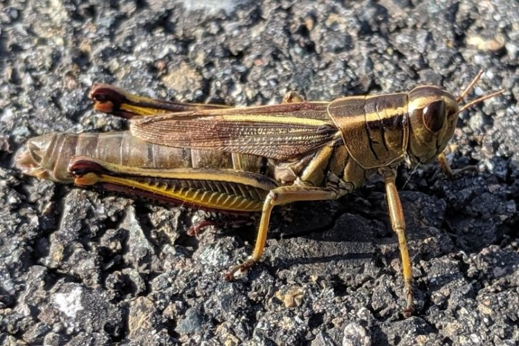 Two-striped Grasshopper Melanoplus bivittatus columbia county northwest oregon