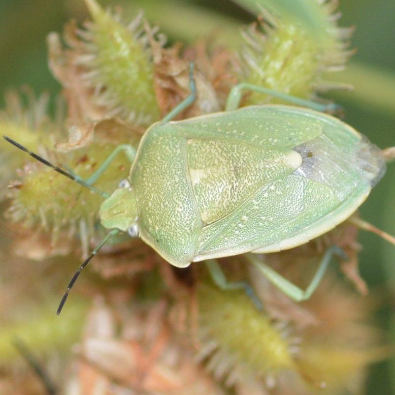 Uhler's Stink Bug Chlorochroa uhleri columbia county northwest oregon