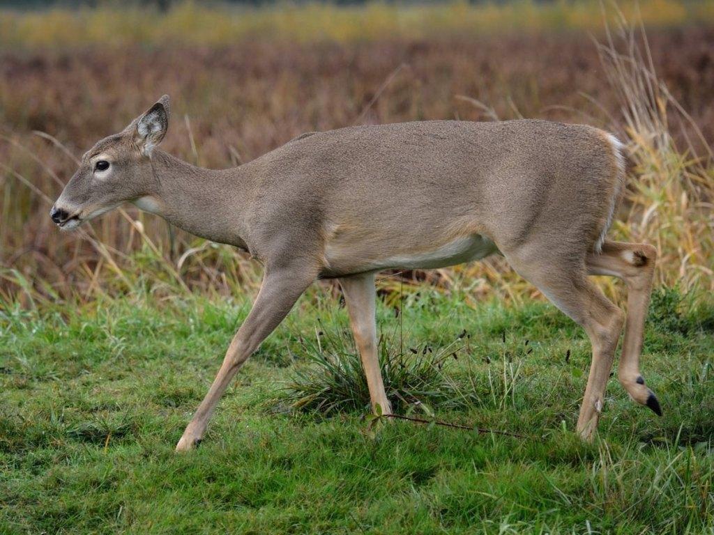 Columbian White-tailed Deer Odocoileus virginianus leucurus whitetail columbia county northwest oregon