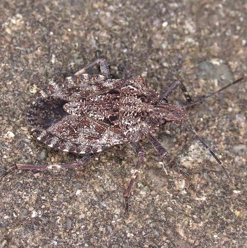 White-speckled Rough Stink Bug Brochymena affinis columbia county northwest oregon