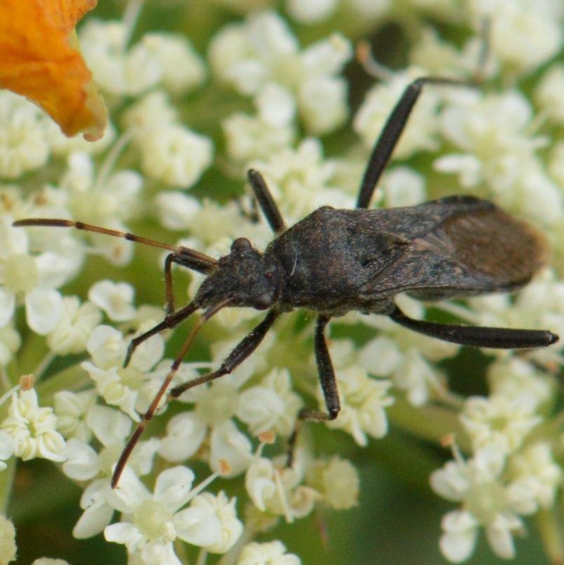 Common Broad-headed Bug Alydus eurinus columbia city northwest oregon