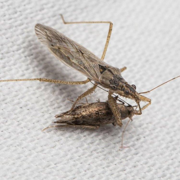 Western Damsel Bug Nabis alternatus columbia county northwest oregon