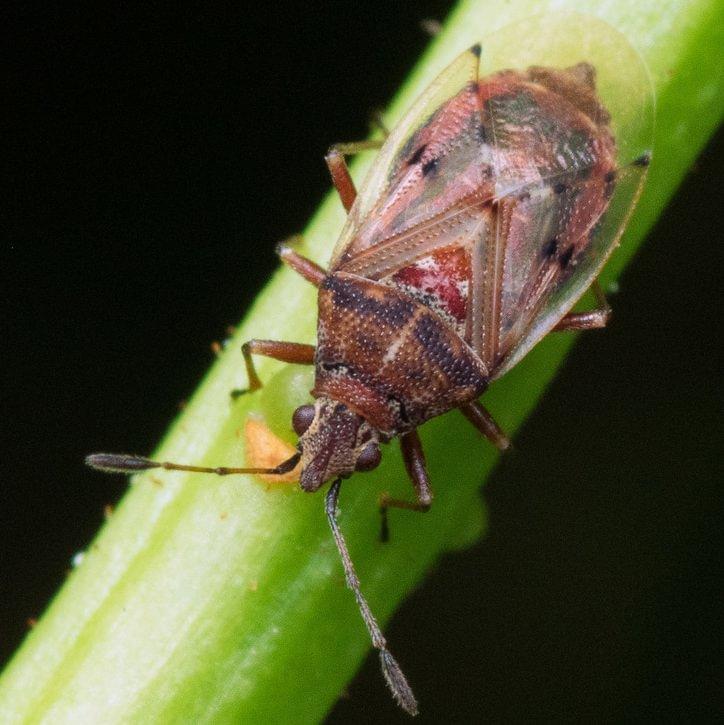 Birch Catkin Bug Kleidocerys resedae columbia county oregon