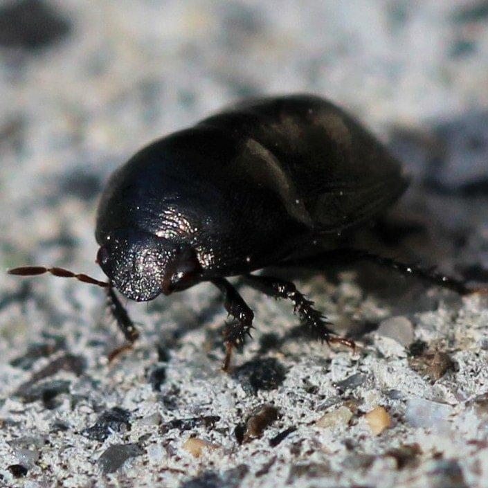 Black Bug Corimelaena ebony bug columbia county northwest oregon
