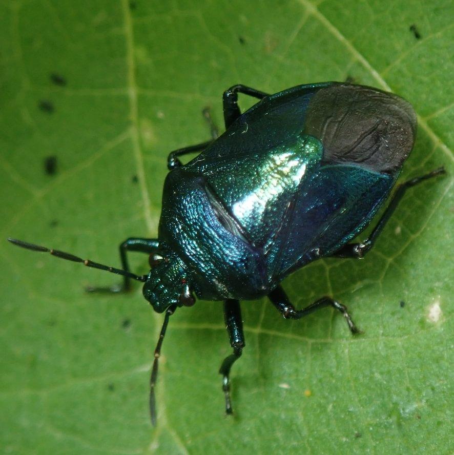 Blue Shield Bug Zicrona caerulea columbia county northwest oregon