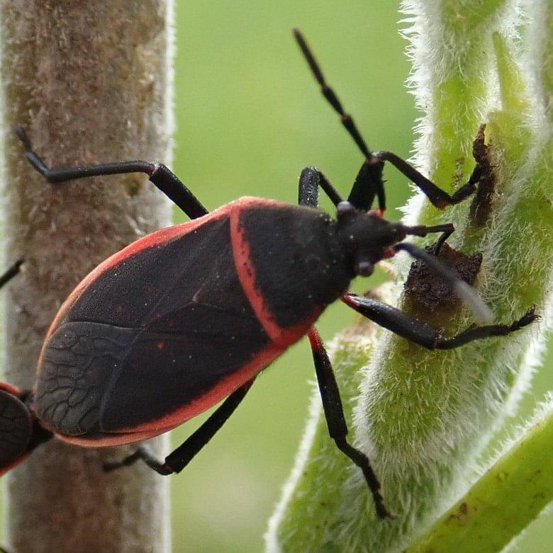 Bordered Plant Bug Largus cinctus columbia county oregon