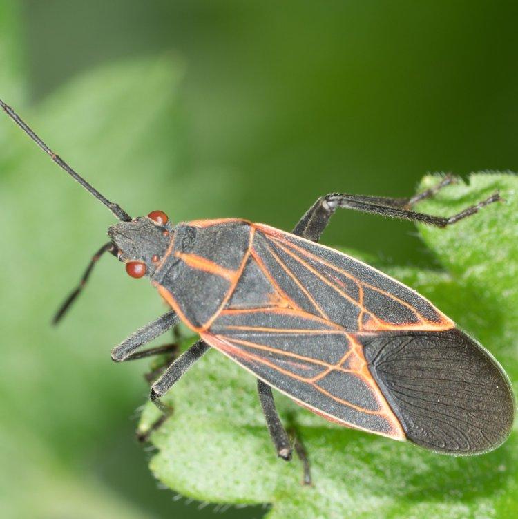 Western Boxelder Bug Boisea rubrolineata columbia county oregon