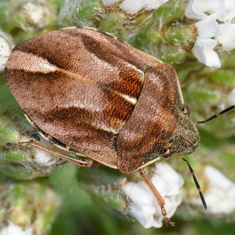 Bronze-headed Shield-backed Bug Homaemus aeneifrons columbia county northwest oregon