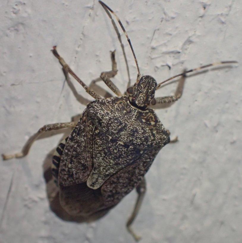 Brown Marmorated Stink Bug Halyomorpha halys columbia county northwest oregon