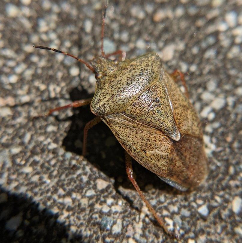 Brown Stink Bug Euschistus servus columbia county northwest oregon