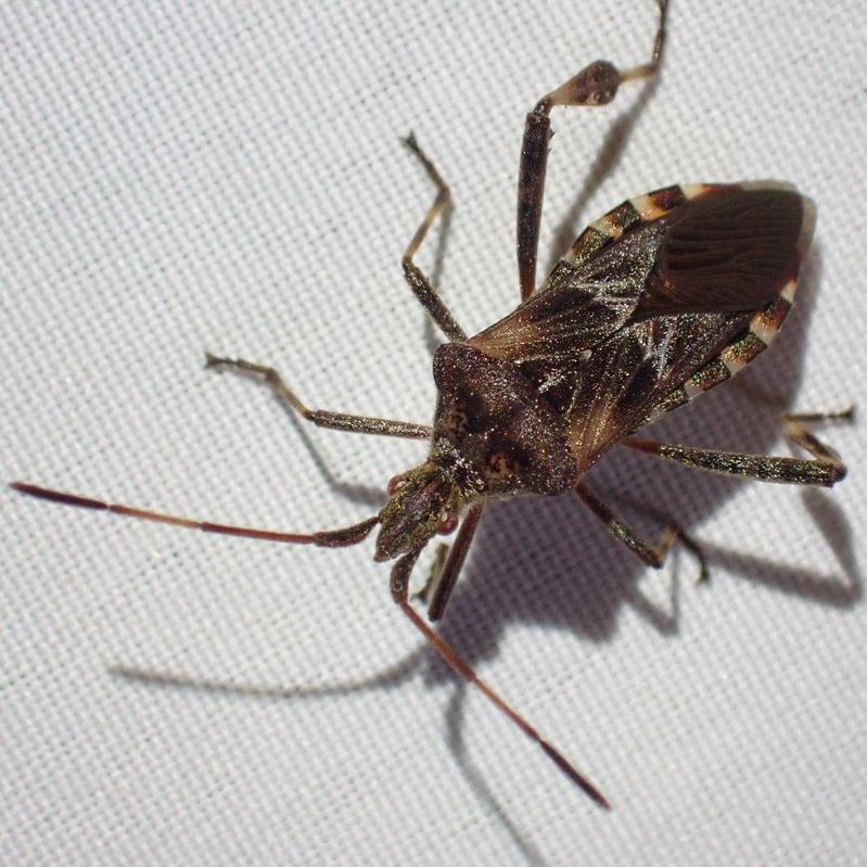 Western Conifer Seed Bug Leptoglossus zonatus columbia county northwest oregon