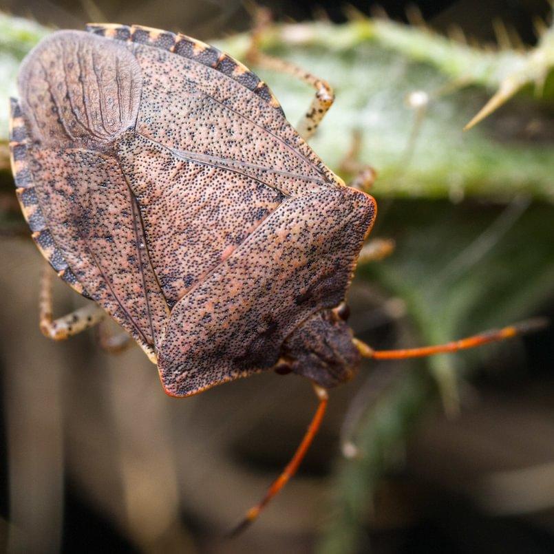 Consperse Stink Bug Euschistus conspersus columbia county northwest oregon