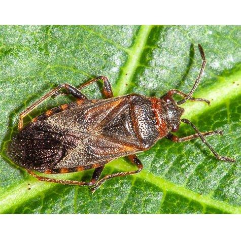 Elm Seed Bug Arocatus melanocephalus columbia county oregon