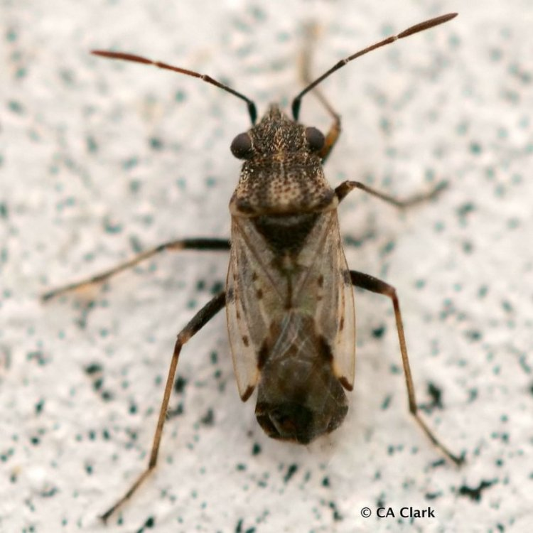 False Chinch Bugs Nysius columbia county oregon