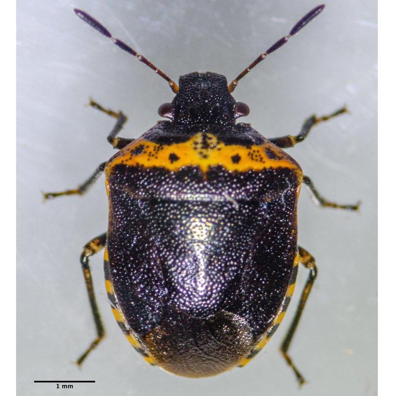 Figwort Stink Bug Cosmopepla uhleri columbia county northwest oregon