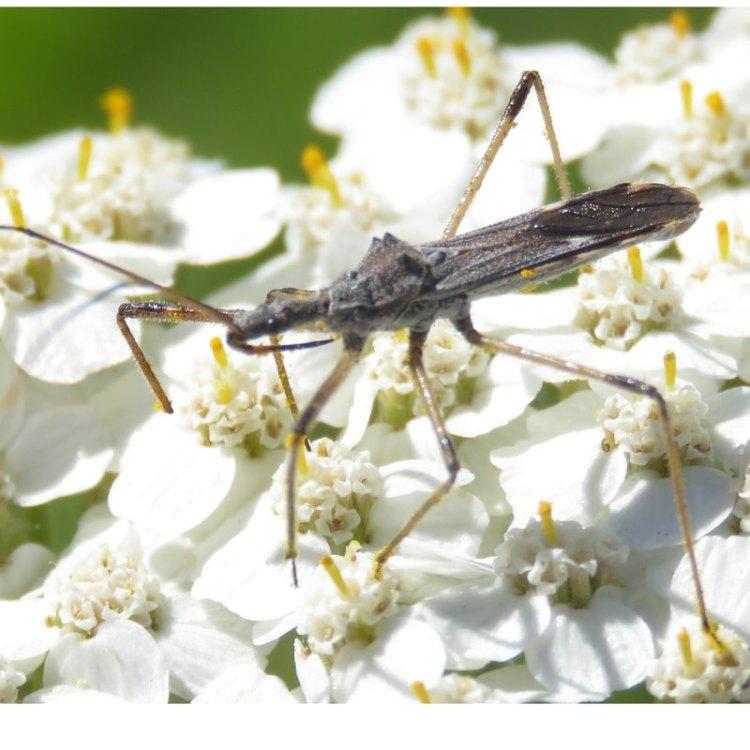 Four-spurred Assassin Bug Zelus tetracanthus columbia county northwest oregon