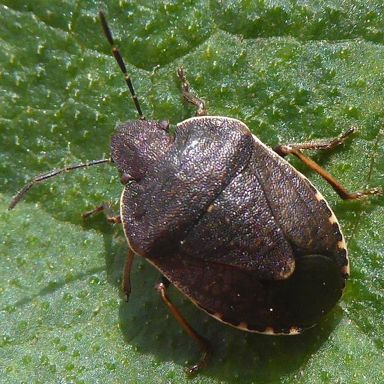 Gloomy Stink Bug Holcostethus tristis