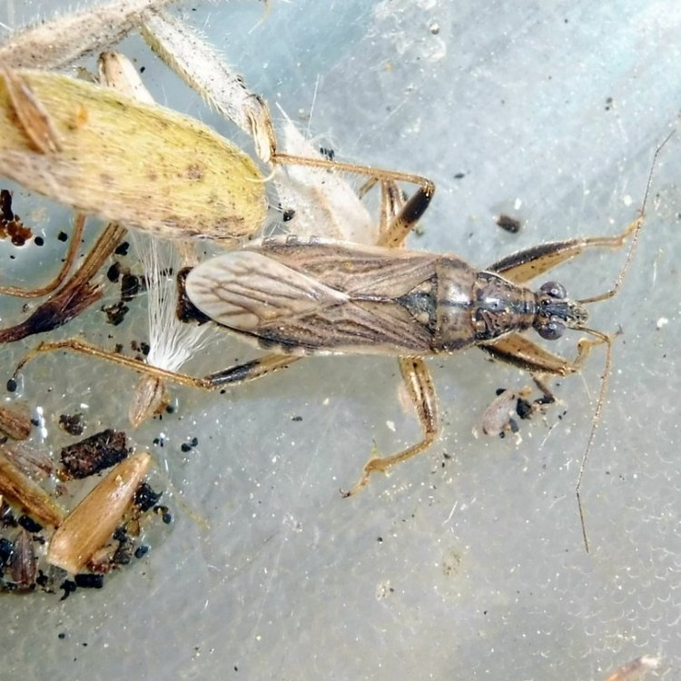 Gray Damsel Bug Himacerus major columbia county northwest oregon