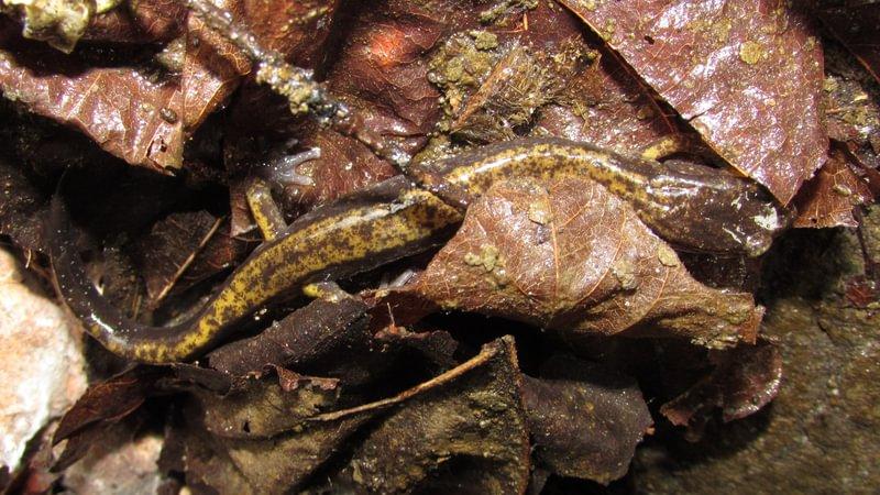 dunn's salamander Cool Geology CZ Trail Crown Zellerbach Bonnie Falls Pisgah