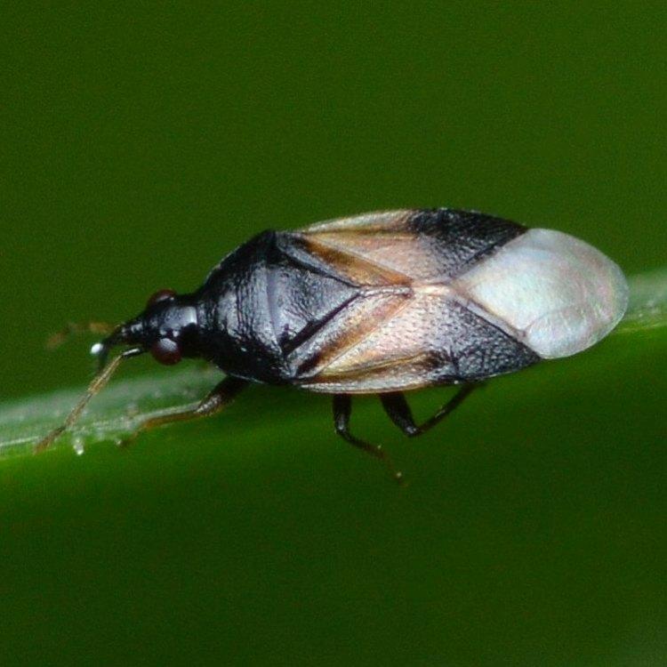 Insidious Flower Bug Orius insidiosus columbia county northwest oregon
