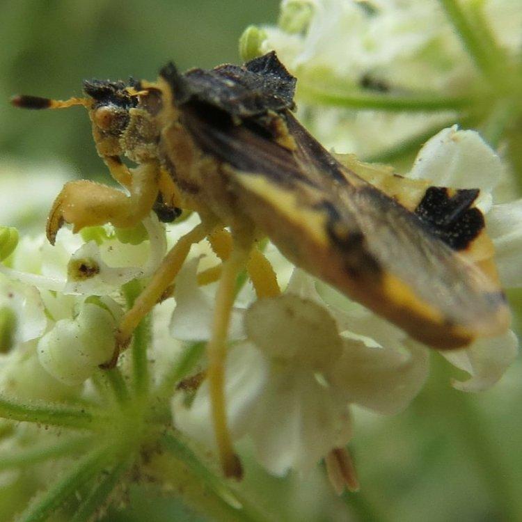 American Jagged Ambush Bug Phymata americana columbia county northwest oregon