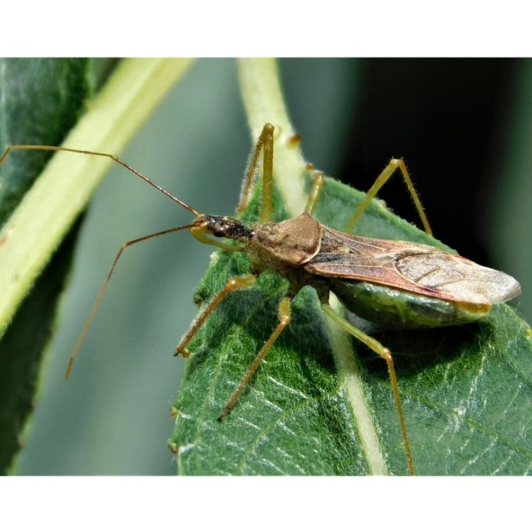 Leafhopper Assassin Bug Zelus renardii columbia county northwest oregon