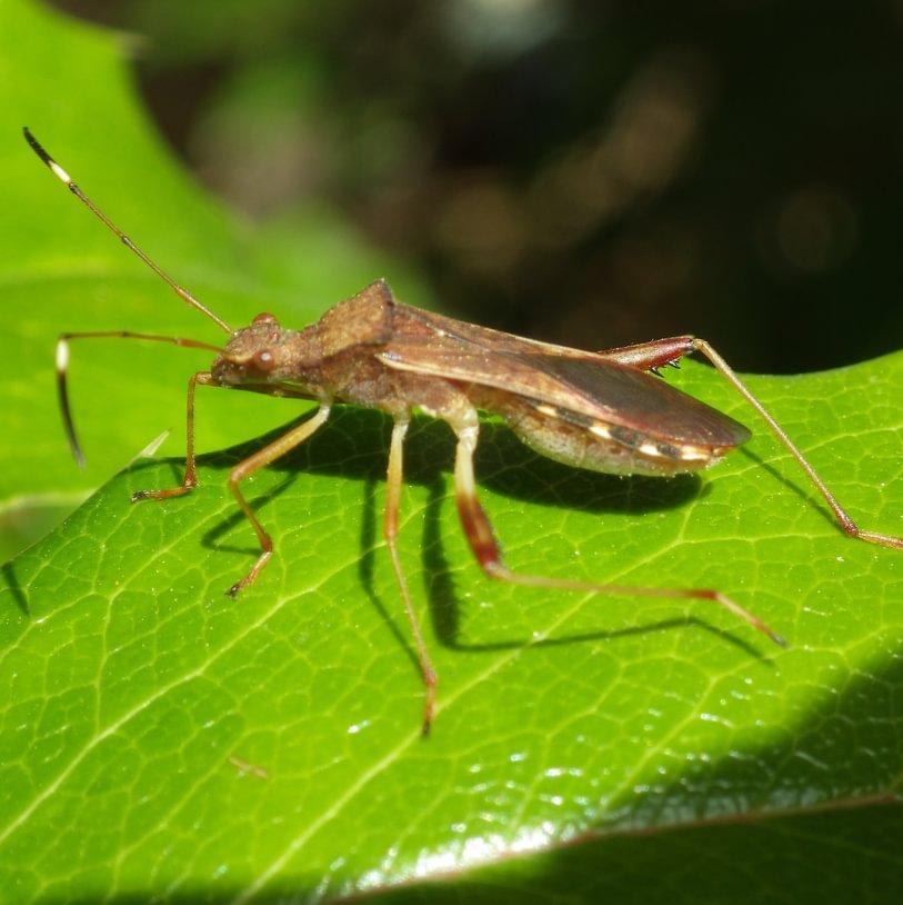 Lupine Bug Megalotomus quinquespinosus columbia county northwest oregon