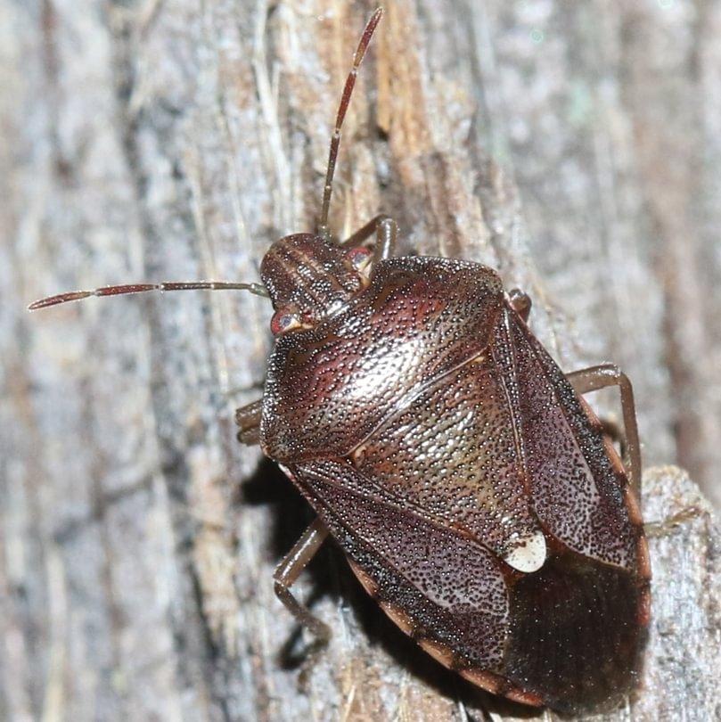 Muddy Stink Bug Banasa sordida columbia county northwest oregon