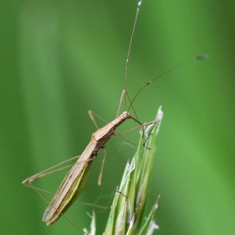 Docked Stilt Bug Neoneides muticus columbia county oregon