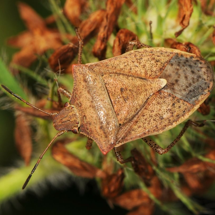 One-spotted Stink Bug Euschistus variolarius columbia county northwest oregon