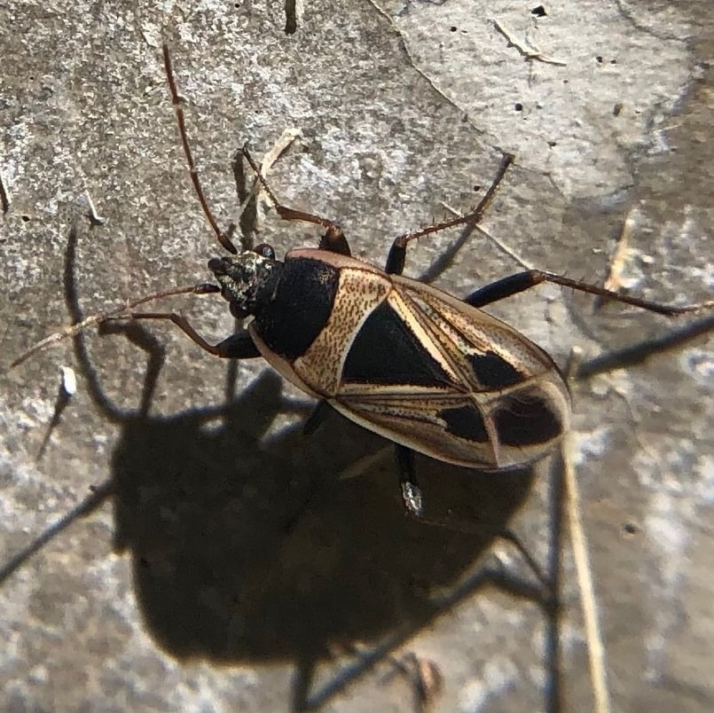 Mediterranean Seed Bug Xanthochilus saturnius columbia county oregon