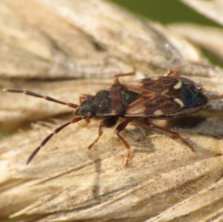 White-tipped Seed Bug Scolopostethus diffidens columbia county oregon