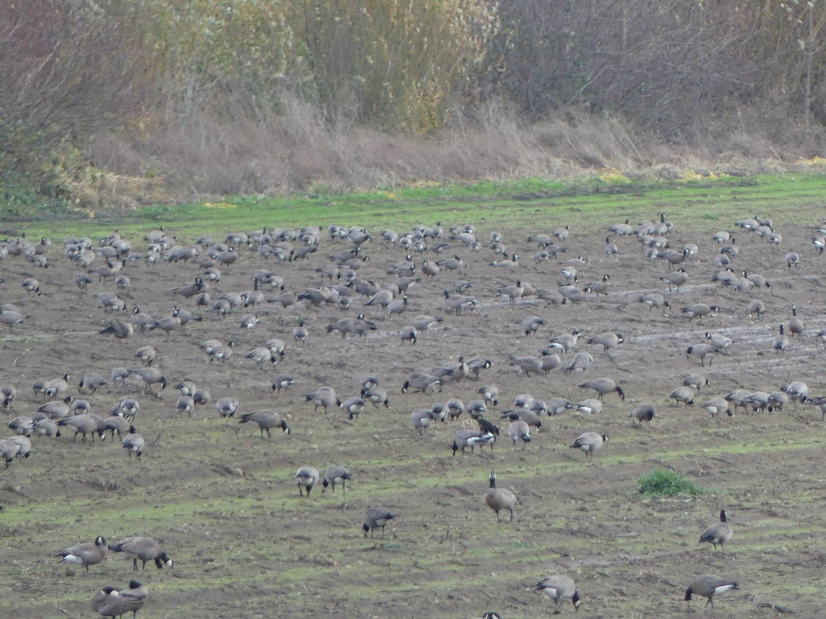 Small Cackling Goose Geese Branta hutchinsii minima sauvie island columbia county northwest oregon