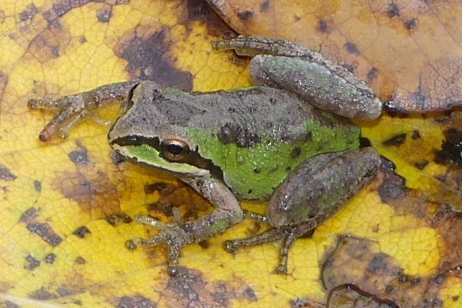 Northern Pacific Treefrog Sauvie Island columbia county northwest oregon