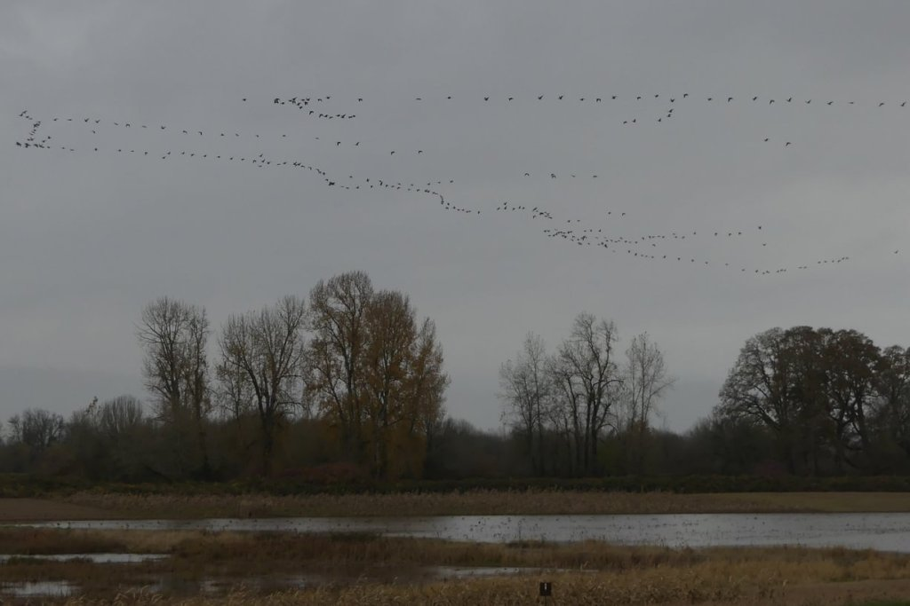 waterfowl and crane flocks Sauvie Island Columbia County northwest Oregon