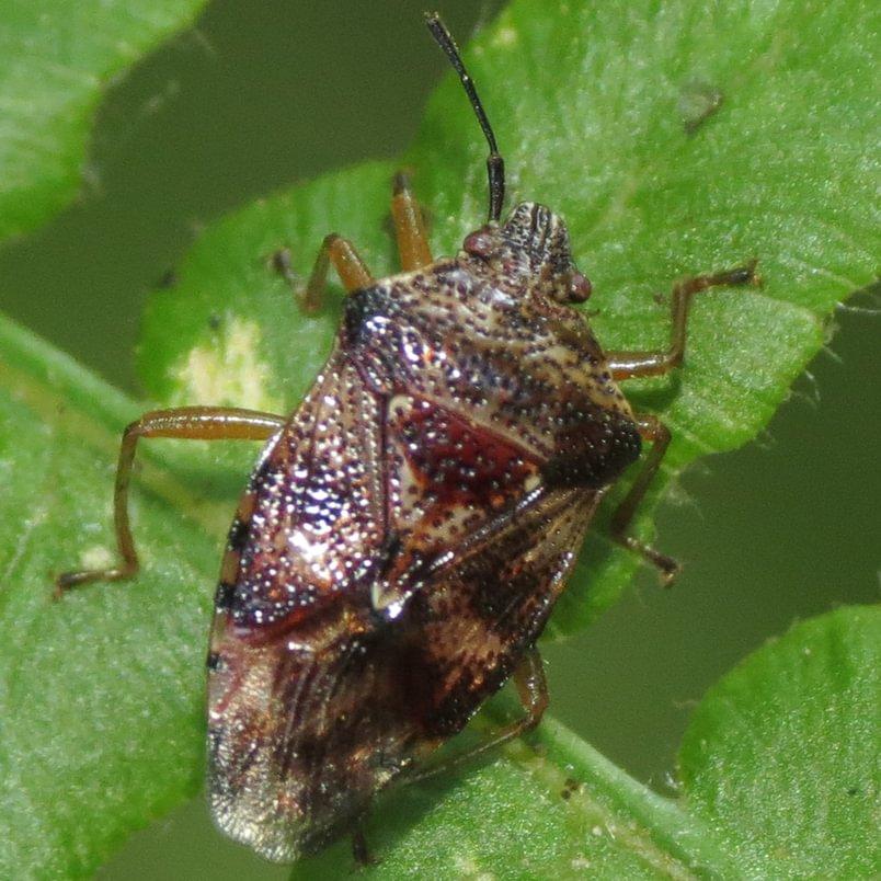 Edge-striped Shield Bug Elasmucha lateralis columbia county northwest oregon