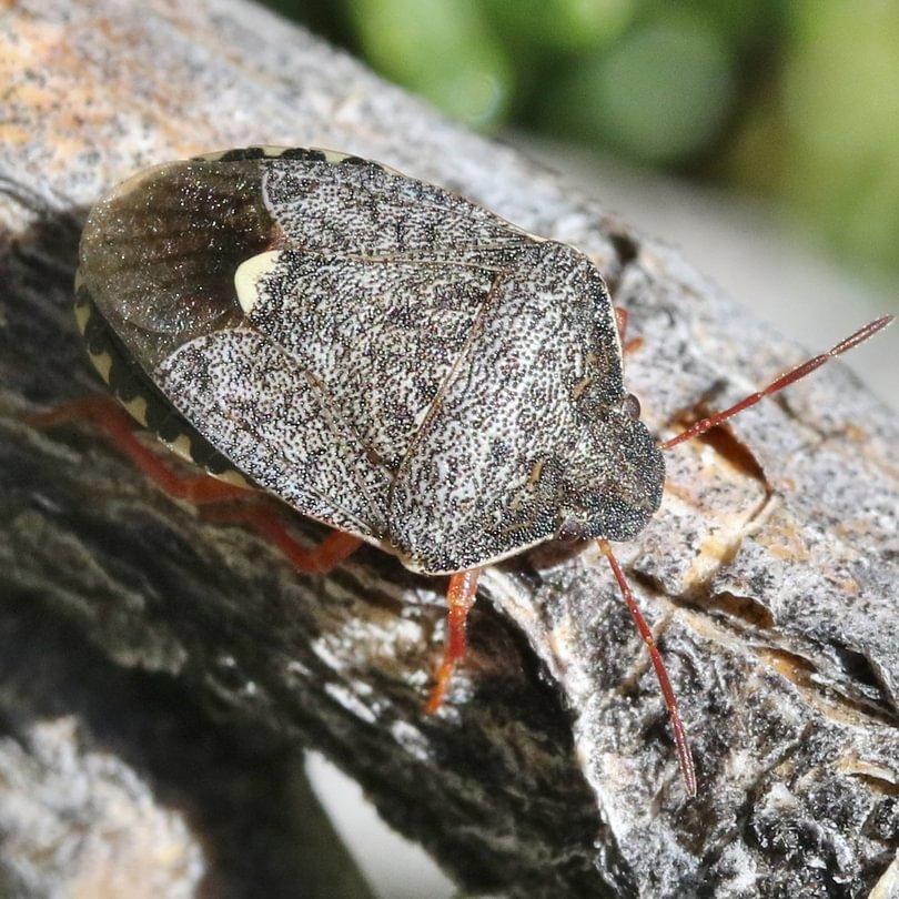 short stink bug Holcostethus abbreviatus columbia county northwest oregon