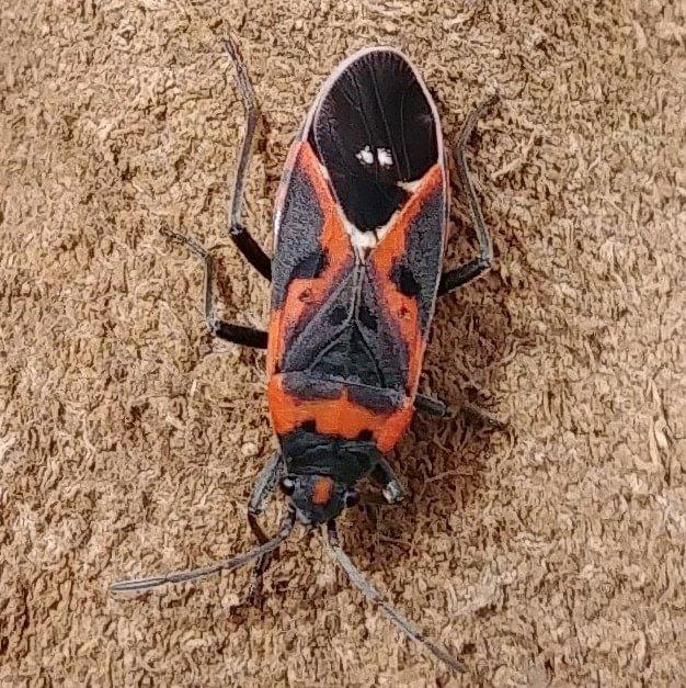 Small Milkweed Bug Lygaeus kalmia columbia county oregon