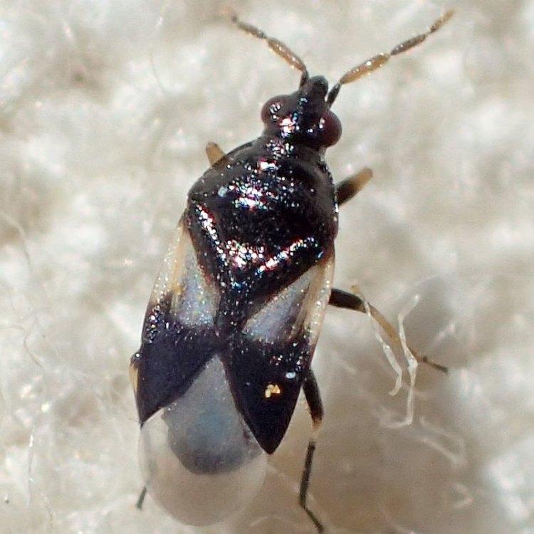 smokey flower bug Orius tristicolor columbia county northwest oregon