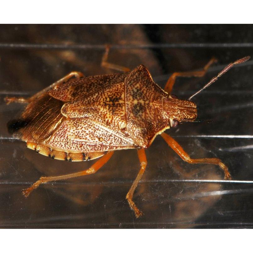 Short-spined Soldier Bug stink bug Podisus brevispinus columbia county northwest oregon