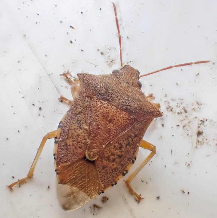 Spined Soldier Bug Podisus maculiventris columbia county