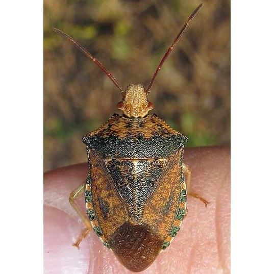 Gilded Predatory Stink Bug Apoecilus bracteatus columbia county northwest oregon