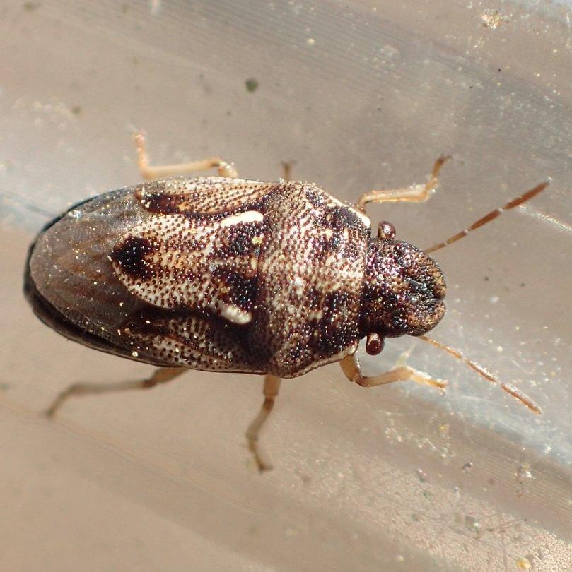 Swollen-faced Stink Bug Neottiglossa tumidifrons columbia county oregon