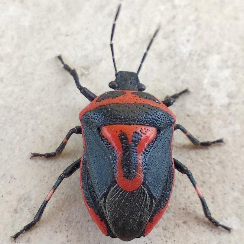 Two-spotted Stink Bug Perillus bioculatus columbia county northwest oregon